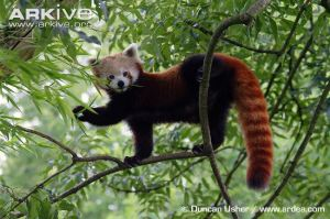 Photo from ARKive of the Red panda (Ailurus fulgens) - http://www.arkive.org/red-panda/ailurus-fulgens/image-G111667.html