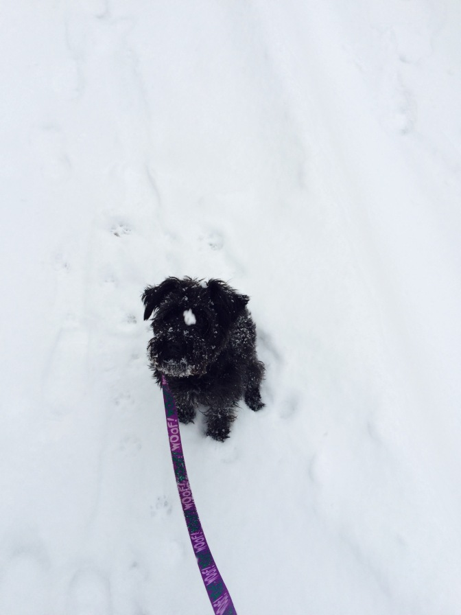 Thoughts on snow, by a small dog